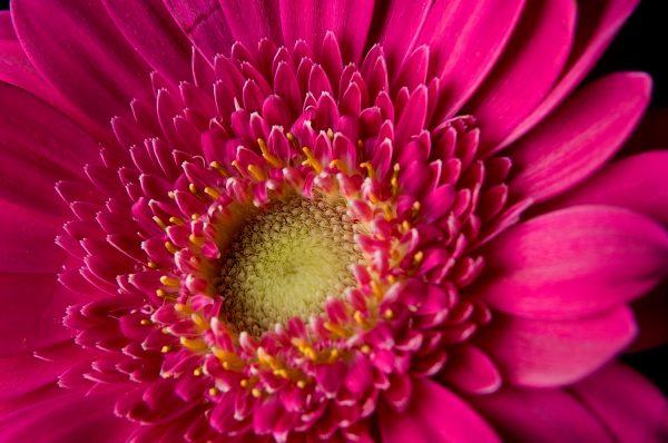 hot pink Gerber