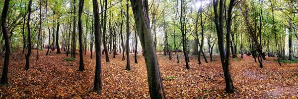 Panoramic of Autumn Trees