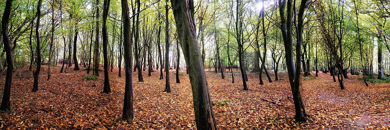 Panoramic of Autumn Trees